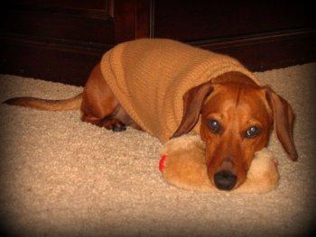 dachshund wearing a sweater
