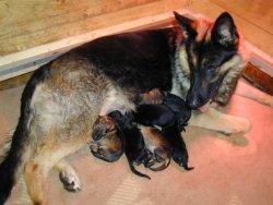 german shepherd with puppies