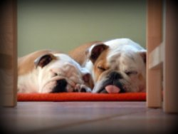 english bulldog puppies sleeping