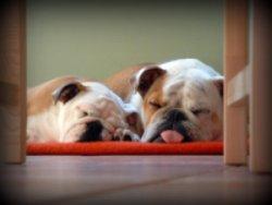 english bulldog puppies sleeping