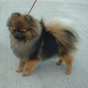 orange and sable pomeranian